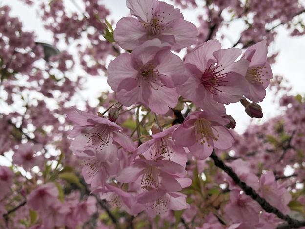 警固神社の河津桜