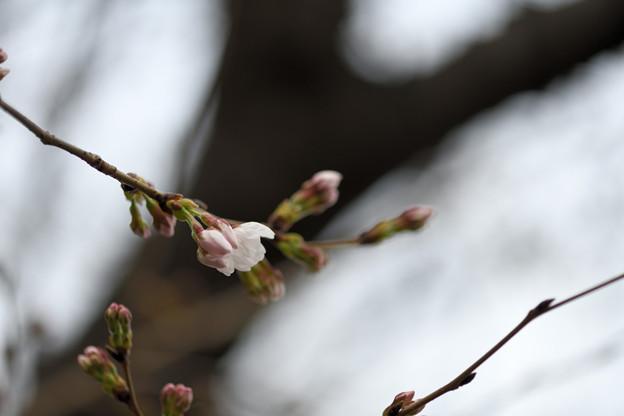 2018櫻開花