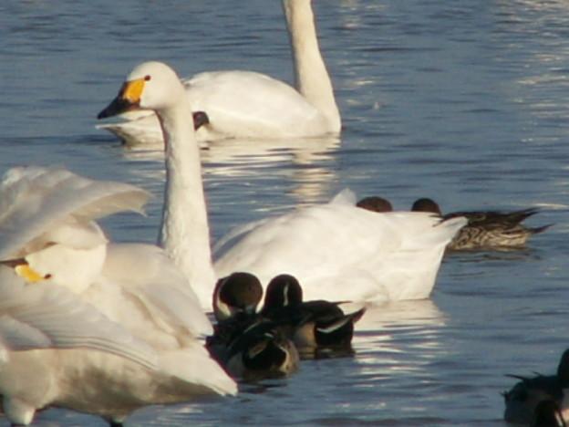 本埜の白鳥 159