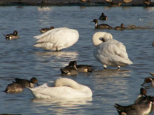 本埜の白鳥 163