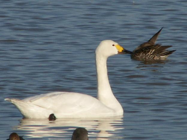 本埜の白鳥 168