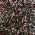 Photos: 桜2010 007