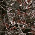 Photos: 桜2010 003