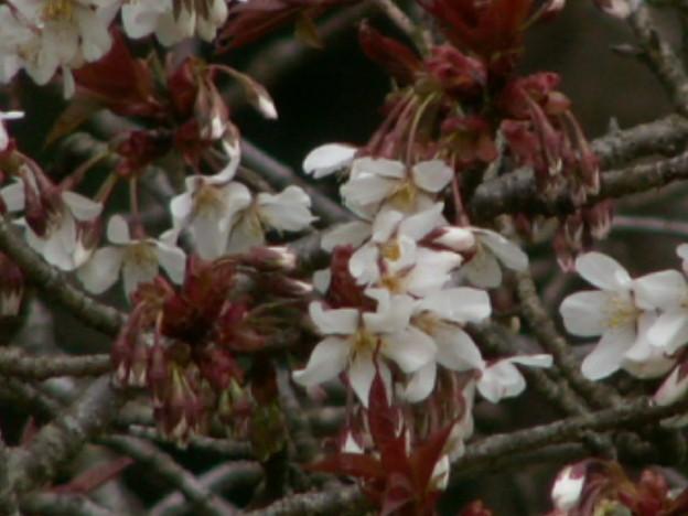 桜2010 004