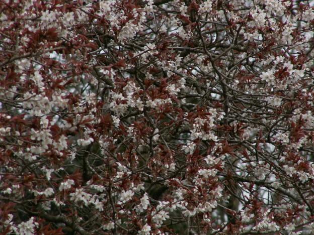 桜2010 007