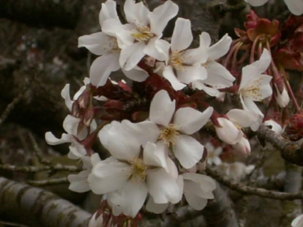 桜2010 011