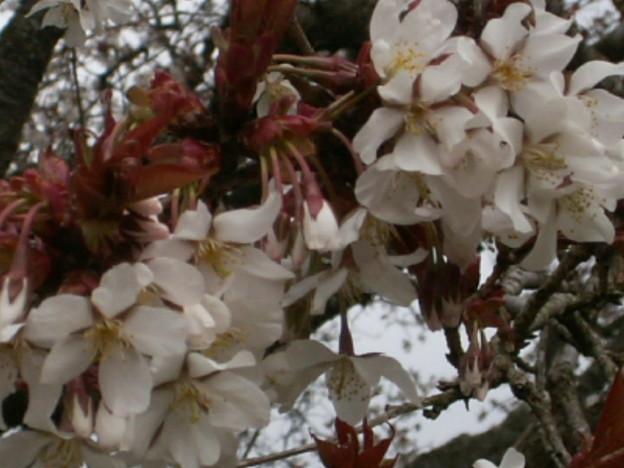 桜2010 012