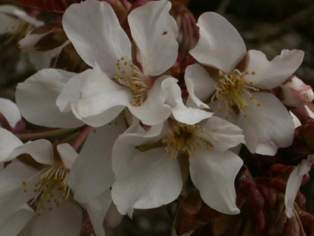 桜2010 016