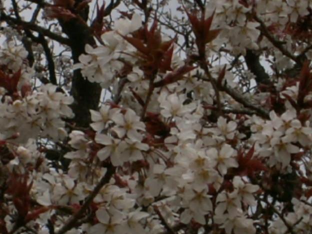 Photos: 桜2010 025