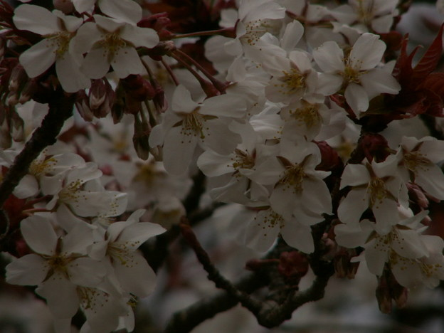 桜2010 026