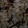 Photos: 桜2010 026