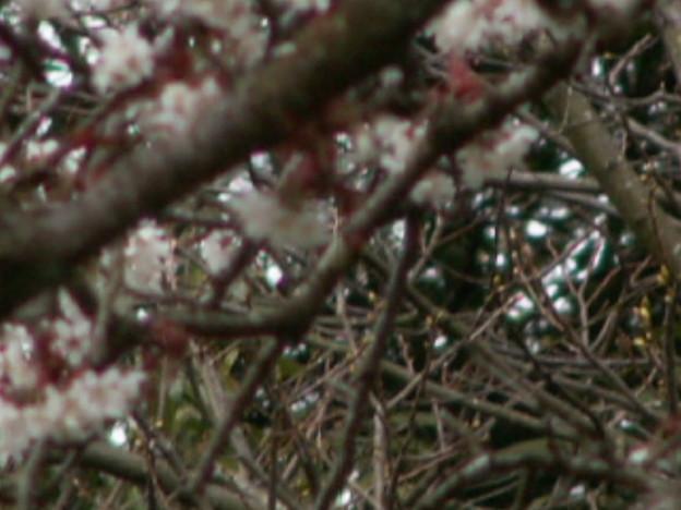 桜2010 032