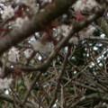 Photos: 桜2010 032
