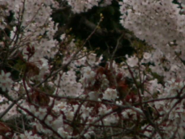 桜2010 033