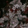 Photos: 桜2010 035