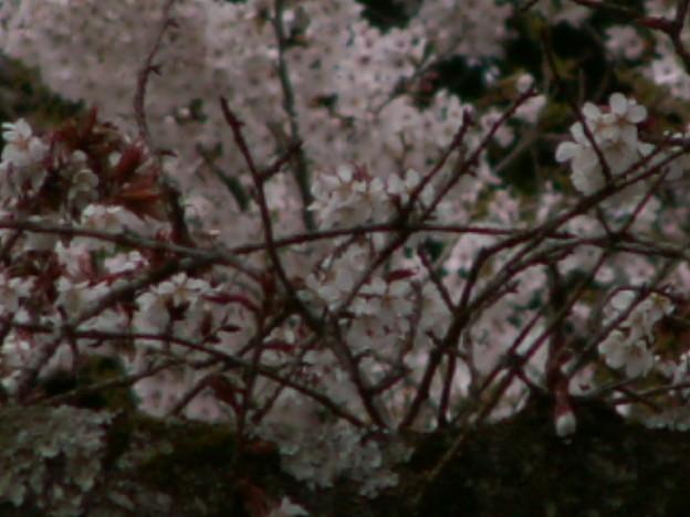 桜2010 037