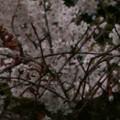 Photos: 桜2010 037
