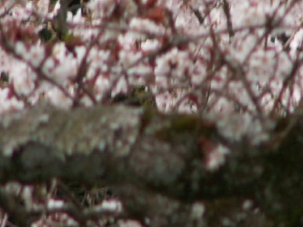 Photos: 桜2010 038