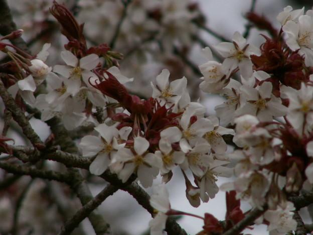 Photos: 桜2010 044