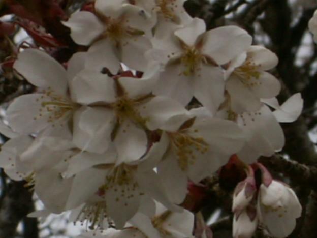 桜2010 046