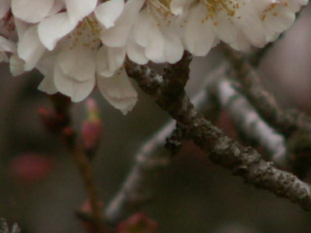 桜2010 051