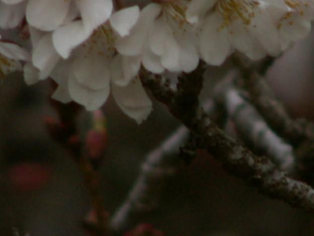 桜2010 052