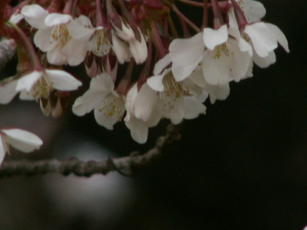 桜2010 053