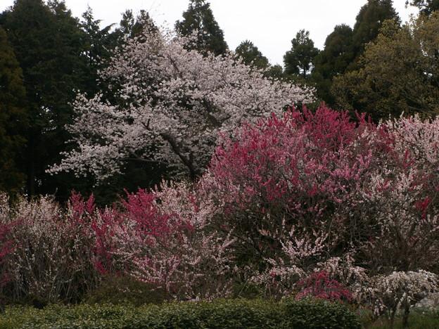 桜2010 057