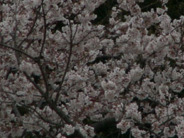 桜2010 058
