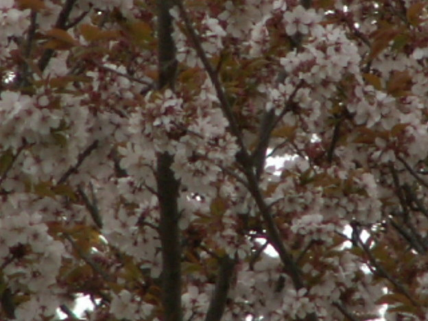 桜2010 063
