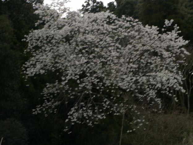 桜2010 065