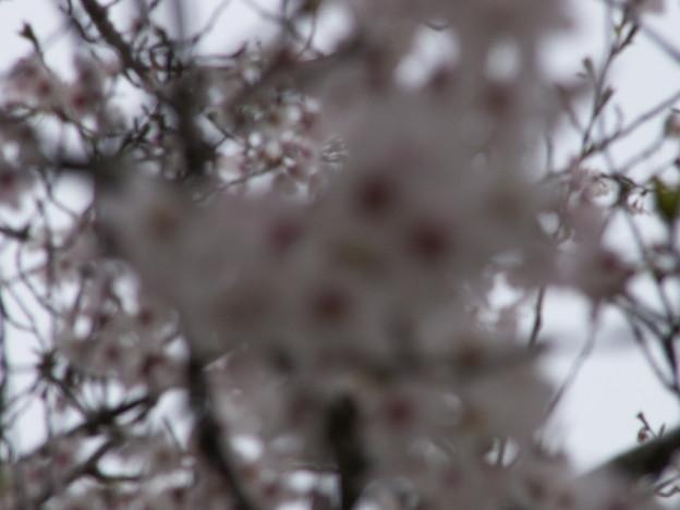 桜2010 067