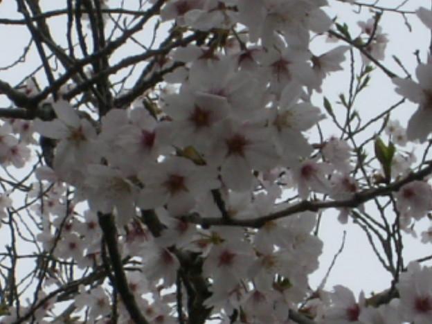 桜2010 068
