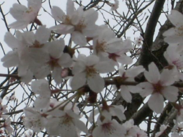 桜2010 069