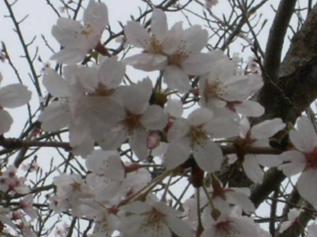 桜2010 070