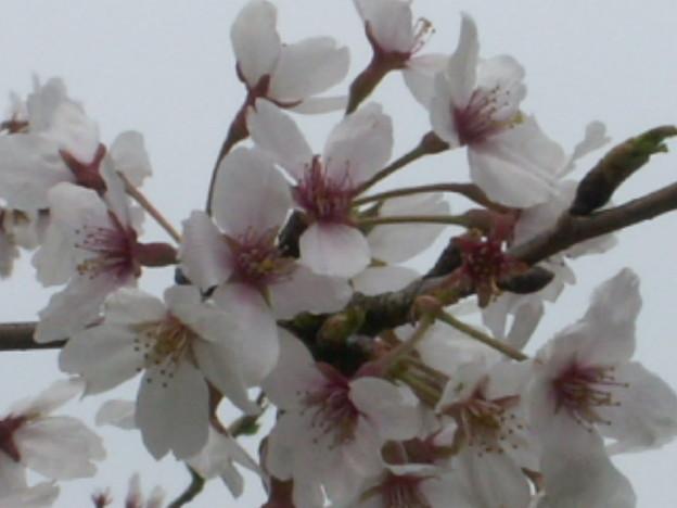 桜2010 072