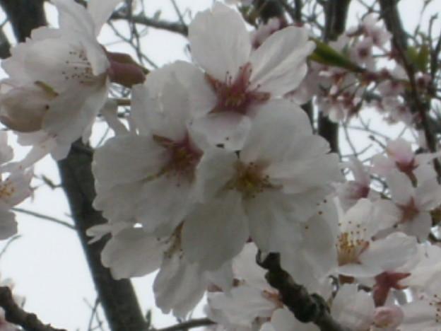 桜2010 074