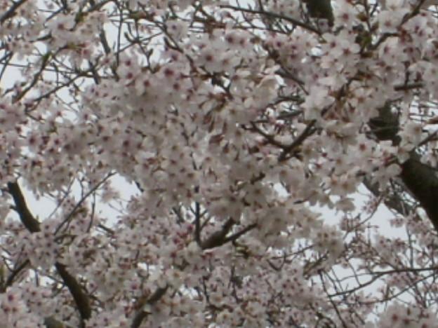 桜2010 078