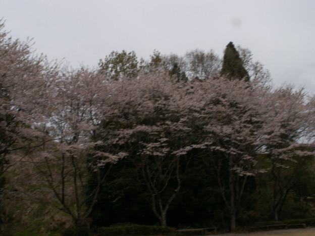 桜2010 079
