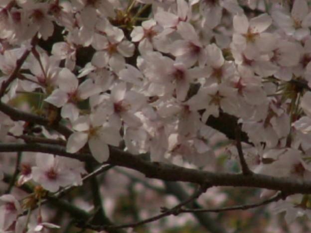 Photos: 桜2010 084