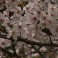 桜2010 084