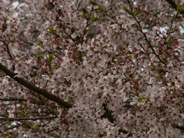 桜2010 087