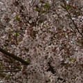 Photos: 桜2010 087