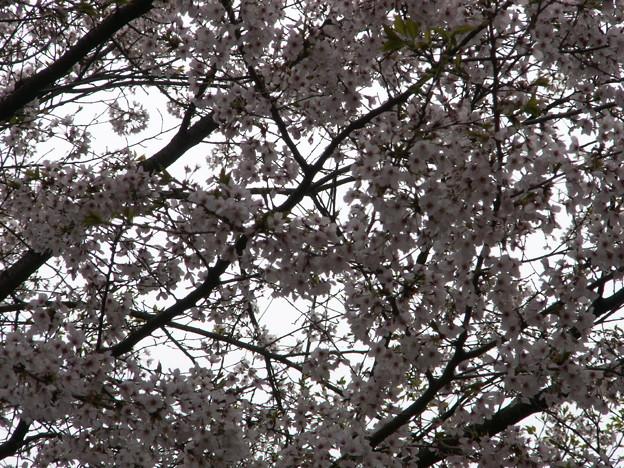 Photos: 桜2010 090