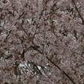 Photos: 桜2010 091