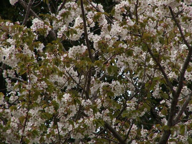 桜2010 100