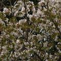 Photos: 桜2010 100