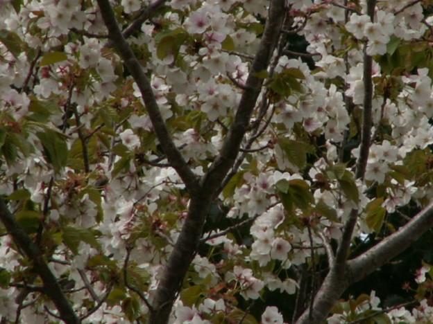 桜2010 101