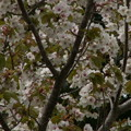 Photos: 桜2010 101