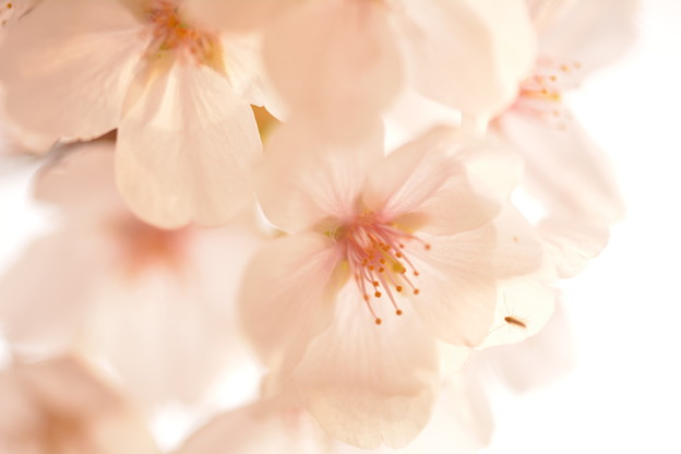Photos: 桜どあっぷ